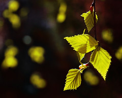 Yellow (E.L.A) Tags: light sunlight plant green nature leaves yellow horizontal closeup night turkey garden dark season outdoors photography leaf spring europe day bokeh dream nopeople environment ankara smallthings freshness gettyimages stockimages onblack leafvein capitalcities colorimage darkbackground beautyinnature focusonforeground veinsofleaf