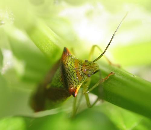 Hawthorne Shield Bug (Acanthosoma haemorrhoidale)