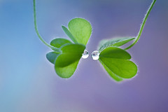 Cm n i mi sm mai thc dy, ta c thm ngy na  yu thng (heokieng) Tags: blue two love rainyday purple drop droplet clover vietbestphoto