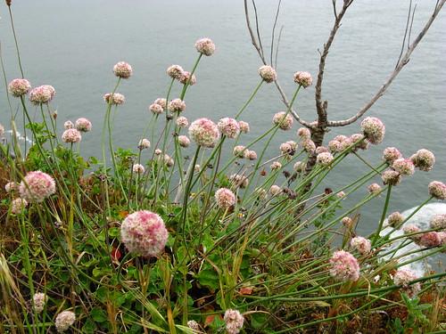 Eriogonum latifolium?