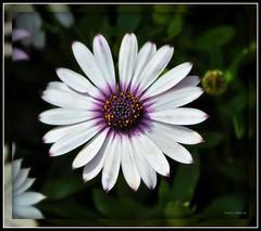 African Daisy (DMoutray - Denny Moutray Photography) Tags: flower nature nikon soe d90 platinumphoto platinumheartaward macrolife natureselegantshots dmoutray