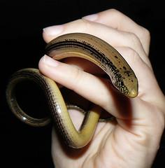 Glass snake