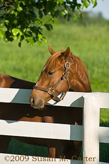Yearling (smcarterphotos) Tags: morning horses horse fence cheval farm pasture chestnut pferd thoroughbred equine