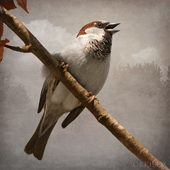Rogue Beauty (okkibox) Tags: bird animals archeon housesparrow passerdomesticus 2009 visualart alphenadrijn huismus blueribbonwinner mywinners abigfave pentaxk10d platinumphoto theperfectphotographer vosplusbellesphotos okkibox boxofhappymemories magicunicornverybest