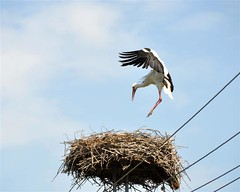 landing - leszlls (elisabatiz) Tags: bird nature spring stork alfld glya