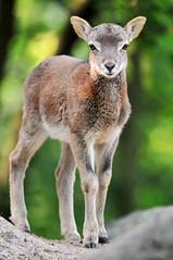 [フリー画像] [動物写真] [哺乳類] [羊/ヒツジ] [子ヒツジ] [ムフロン]      [フリー素材]