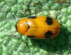 Escaravelho // Leaf Beetle (Coptocephala scopolina subsp. floralis) - by Valter Jacinto | Portugal