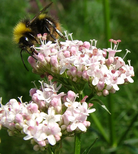 Bee on Valerian