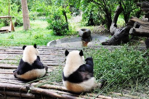 Panda 142