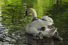maman cygne (jd.echenard) Tags: swan taxi transport aves cygne cisne  cygnus anatidae cigno anseriformes zwanen chordata vertebrata rivirethielle