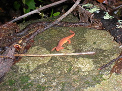 47 - Northern Red Salamander
