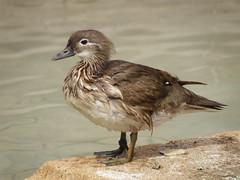 en el estanque...pato mandarn (ella) (Djate guiar!) Tags: estanque cartagena patomandarn parquetorres