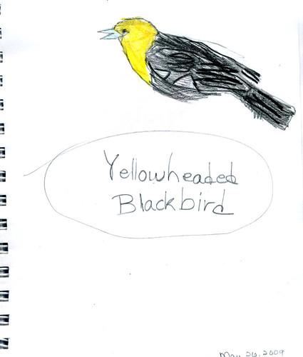 Yellow-headed Blackbird by Zippy (age 9)