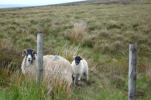 Sheep up on the high moor