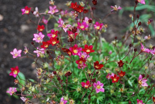 Saxifraga in the cottage garden