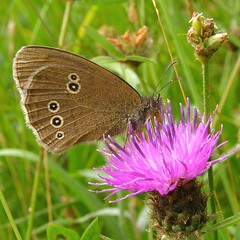 Ringlet  on, you've guessed it, knapweed (brockwatcher) Tags: butterfly insect ringlet aphantopushyperantus draycotemeadows