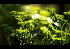 Enchanted Parsley Forest