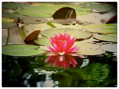 L I  L L Y P A D (Tasmin_Bahia) Tags: pink flower reflection green texture water yellow reflective goldtint lillypad panasoniccamera texturized