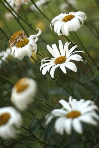 daisy 002-1