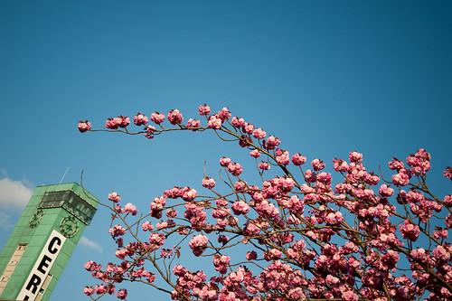 Cerisier à fleur du Japon 'Amanogawa'