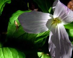 still, glowing (dmixo6) Tags: flowers ontario color macro nature garden trillium spring muskoka wildflower dugg dmixo6