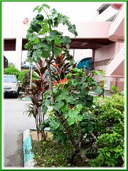 About 2.6 m tall Jatropha podagrica (Gout Plant, Buddha Belly Plant), seen outside a shopping complex