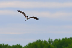 Blackbird Chasing Osprey DSC_9661 by Mully410 * Images
