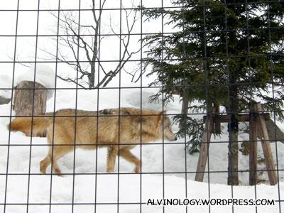 A snow wolf