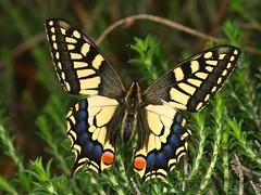 Papilio machaon (diegocon1964) Tags: lepidoptera papilio papilionidae papiliomachaon papilionoidea papilionini