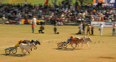 Bullock Cart Racing (Ajit Pal Singh) Tags: two horses india tractor game history sports sport festival youth rural speed photo dance high construction war colorful village bullock action folk bare events traditional religion culture mini games event riding winner vehicle warrior effort tug olympics sikh cart agriculture punjab popular 2009 schedule kila sponsor bravery agricultural daredevil stunt bhangra deliver courage gallop daring gallary implements ludhiana compete galloping quila footed grewal kabbadi raipur giddha kilaraipur mywinners tractive