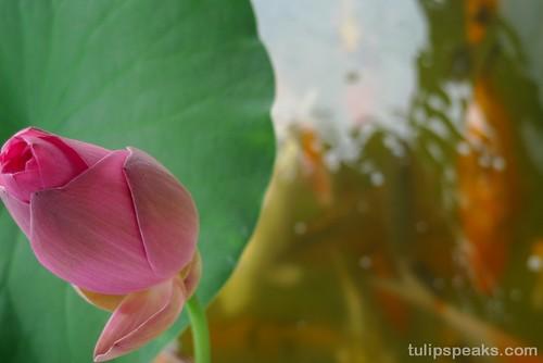 Lotus @ home