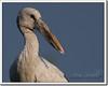 Asian Openbill  (Anastomus oscitans) (Z.Faisal) Tags: portrait bird nature asian nikon beak feathers aves dhaka nikkor bangladesh stork avian bipedal bangla faisal desh d300 zamir savar openbill asianopenbillstork anastomusoscitans pakhi endothermic anastomus nikkor300mmf4 jahangirnagaruniversity oscitans zamiruddin shamukh bhanga zamiruddinfaisal eshioshamkhol shamukhbhanga eshio shamkhol zfaisal