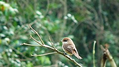 Stonechat and jungle