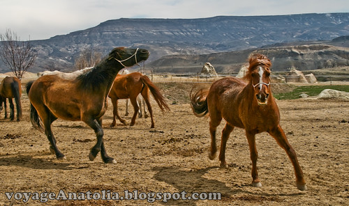 Cappadocia Horses by voyageAnatolia