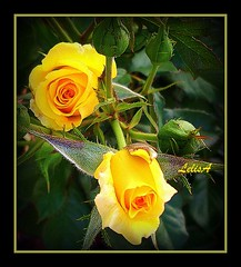 Yellows And More.... (LelisA) Tags: yellow inmygarden naturesfinest anaheimca masterphotos abigfave platinumphoto budsandblooms theunforgettablepictures tahitiantearose