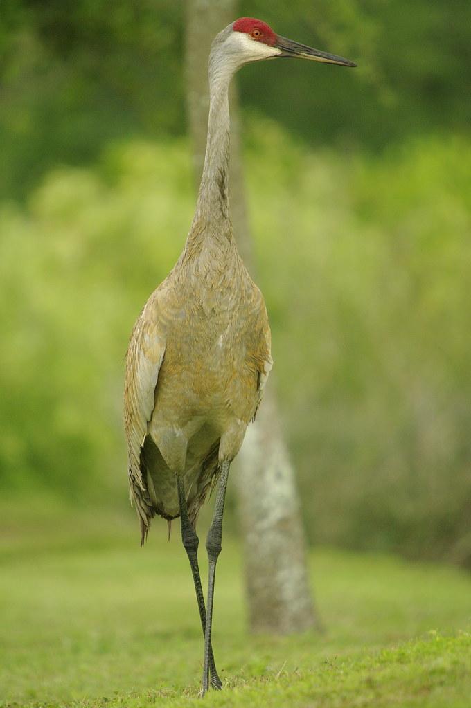 Sandhill Elegant Crane