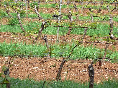 vignes de près.jpg