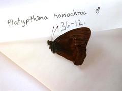 Platypthima homochroa