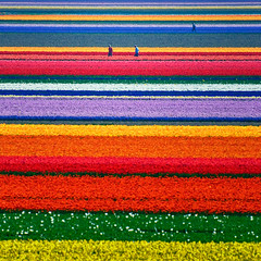 Fields of Gold (Allard Schager) Tags: holland netherlands regenboog landscape outdoors spring rainbow flora nikon gallery picture nederland vivid sparkle 300mm explore flowerbed agriculture patchwork multicolored alkmaar lente 500fave