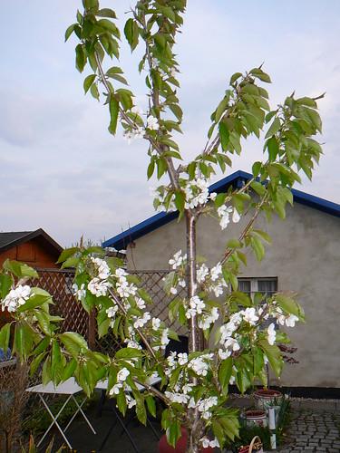 Kirschblüte 2009