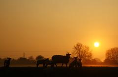 cold start to a fine day (peet-astn) Tags: trees sun mist field alberi sheep alba nebbia sumrise