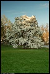 white tree (Justin Smith - Photography) Tags: nikond50 magnolia bostonma arnoldarboretum justinsmith leegndfilters nikon3570mmmacro