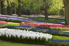 Keukenhof (siebe ) Tags: flower holland dutch field nederland thenetherlands tulip veld keukenhof bloem tulp lisse fotokeukenhof