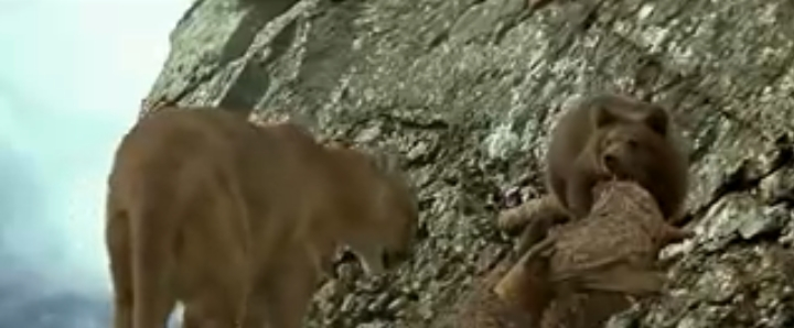 Cougar vs Bear