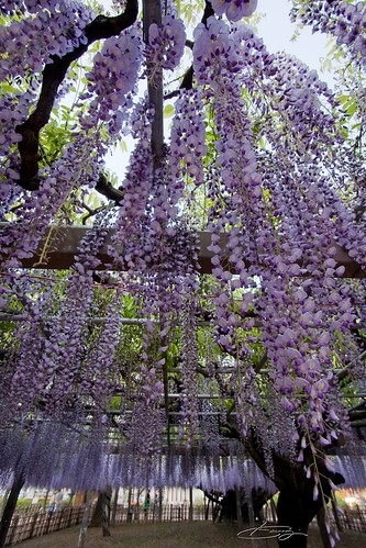 Long wisteria