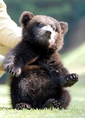 Bears (floridapfe) Tags: bear cute animal zoo nikon bears everland  d80
