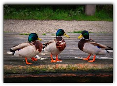 (520)  Huey, Dewey, and Louie ... (Franz St.) Tags: nikon ducks slovenia picturesque smrgsbord lakebled blueribbonwinner bledisland d80 anawesomeshot franzst