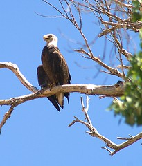Desert Bald Eagle (Laveen Photography (aka cyclist451)) Tags: arizona phoenix eagle baldeagle az saltriver nesting protected valleyofthesun desertbaldeagle