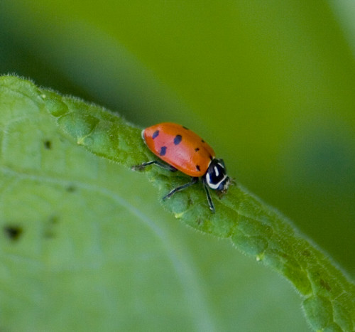 convergent lady beetle (1)