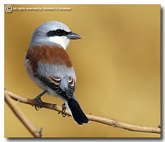 Red-Backed Shrike (ibrahem N. ALNassar) Tags: 30 canon eos d n l usm f56 ef shrike 400mm  redbacked     alnassar    ibrahem
